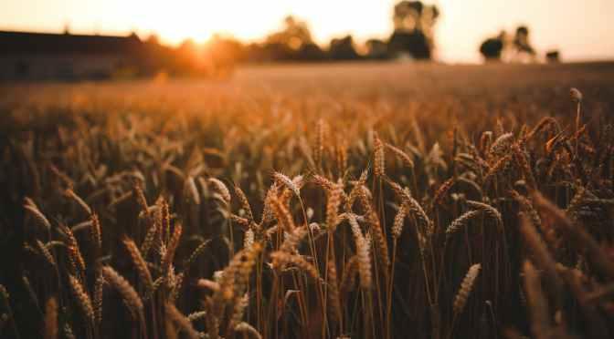 The Final Grain Harvest